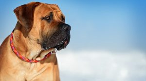 Scary-Looking-South-African-Mastiff