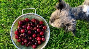 Small-Dog-Looking-at-Strainer-of-Red-Fruit