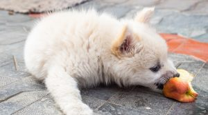 Small-Fluffy-White-Puppy-Eating-Fruit