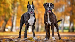Two-Scary-Boxer-Dogs