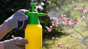Cherry-Blossoms-Being-Sprayed-With-Chemicals