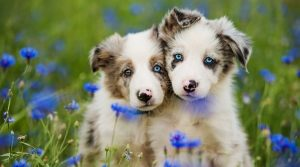 Puppies-in-a-Field-of-Blue-Flowers