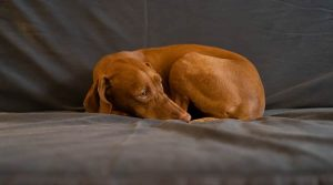 Vizsla-Dog-Curled-Up-on-a-Couch